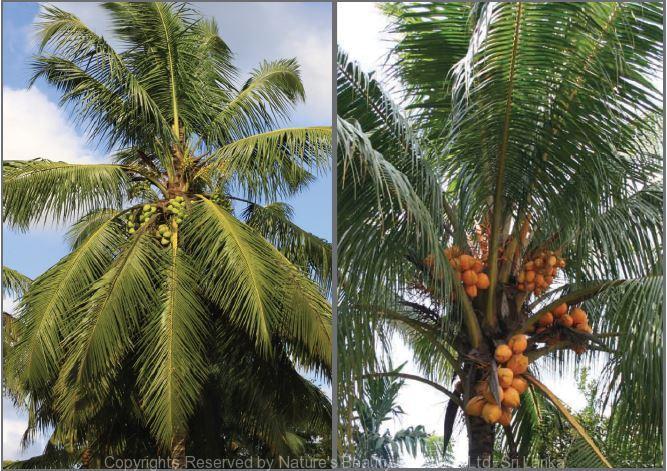 cocos nucifera l nature