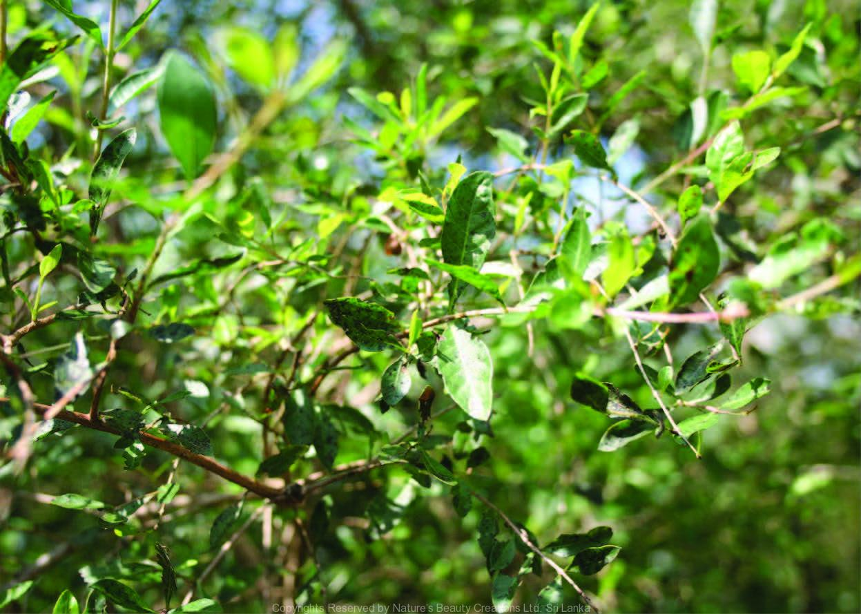 Lawsonia Inermis L Nature