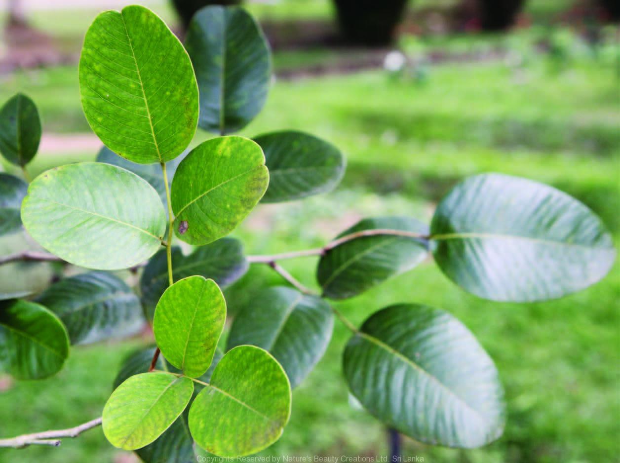 Pterocarpus Santalinus L F Nature