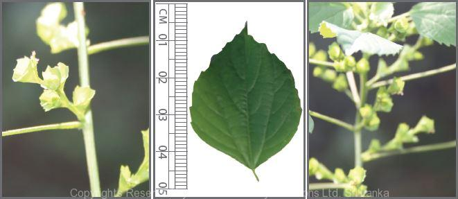 Acalypha Indica L Nature