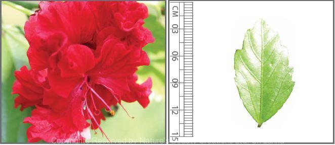 Hibiscus Rosa Sinensis L Nature